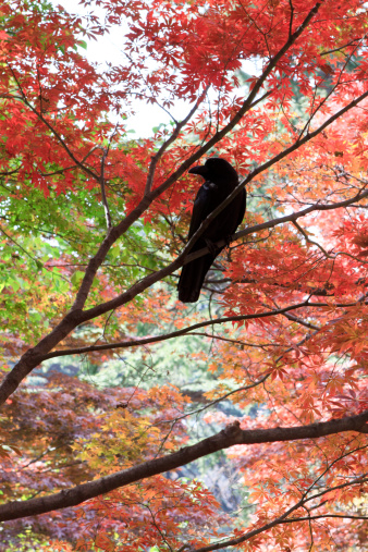 Free_Crow
